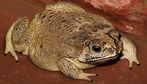 Крупная жаба
