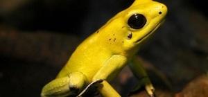 Желтая лягушка