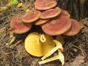 Много грибов во сне
