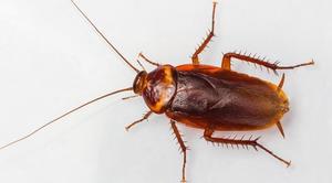 К чему может присниться таракан