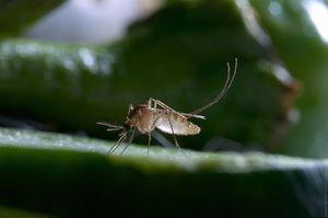 Сновидение о комаре