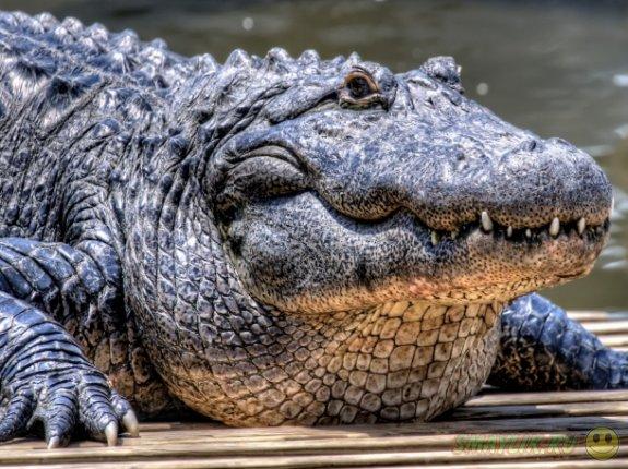 Крокодилы во сне по сонникам миллера, фрейда, лоффа.