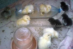 Кчему снятся живые цыплята