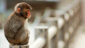 Видеть во сне обезьян