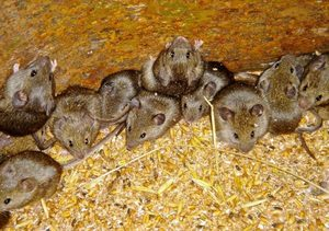 Приснилось много мышей - что значит сон?