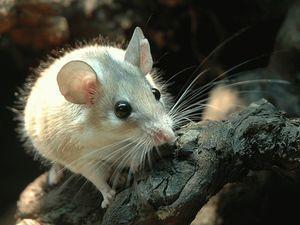 Увидеть во сне белую мышку - значение