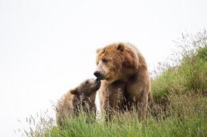 К чему видеть медведей во сне