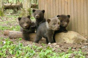 Медвежата во сне