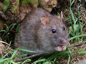 К чему снится крыса