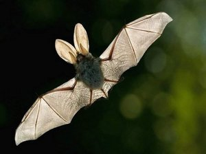 Летучая мышь по соннику