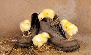 К чему снятся цыплята