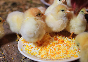 К чему снится много цыплят: маленькие, большие, разноцветные