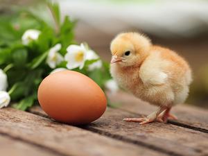К чему приснилпя цыпленок