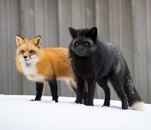 К чему снятся лисы