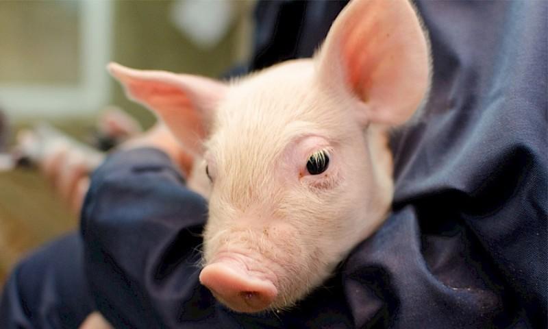 Если же во сне свинка бегает по двору просто так, то не стоит рассказывать свои тайны даже самым близким.