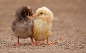 Играть с цыплятами во сне